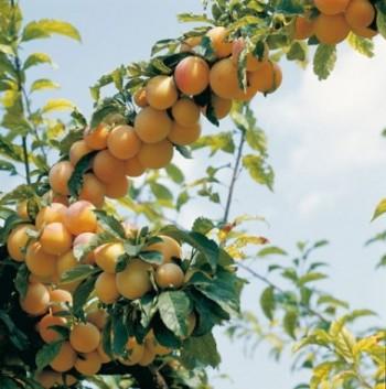 calendrier lunaire arbre fruitier prunier