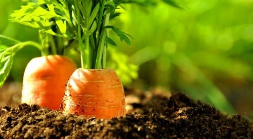 calendrier lunaire carotte sol