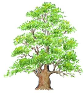 calendrier lunaire du 24 au 27 février arbre chene