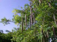 calendrier lunaire gousses moringa-oleifera