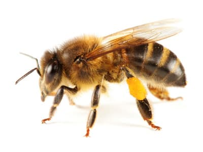 calendrier lunaire abeille