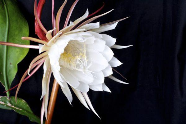 calendrier lunaire du 16 juin Epiphyllum oxypetalum