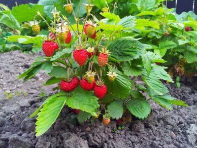 calendrier lunaire pieds fraisiers