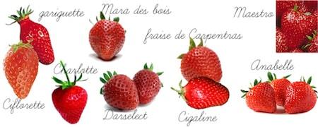 calendrier lunaire variétés de fraises - fraisiers