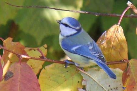 calendrier lunaire mésange bleue