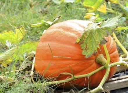calendrier lunaire jardin du 27 septembre potiron