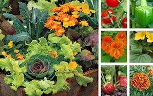 calendrier-lunaire-association-legumes-fleurs