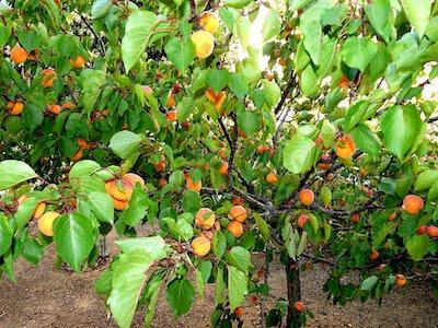 calendrier lunaire abricotiers du roussillon
