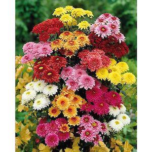 calendrier lunaire chrysanthemes 5