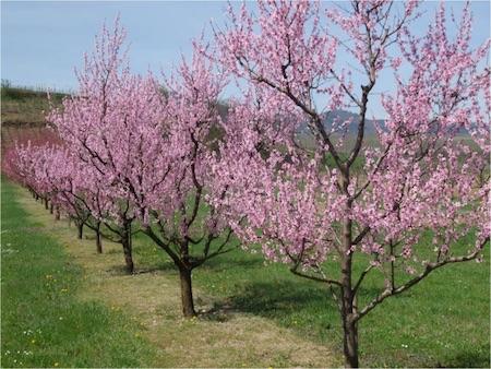 Les pommiers au jardin calendrier for Au jardin info