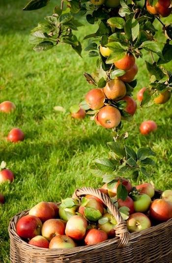 recolte des pommiers du calendrier lunaire